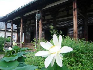 元興寺・蓮の花