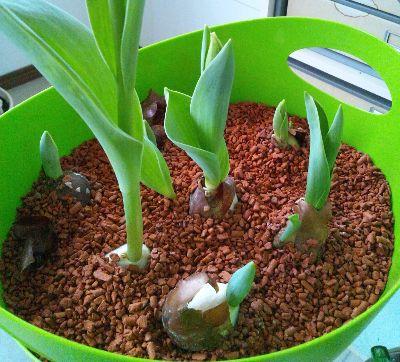 tulip120226 (2)