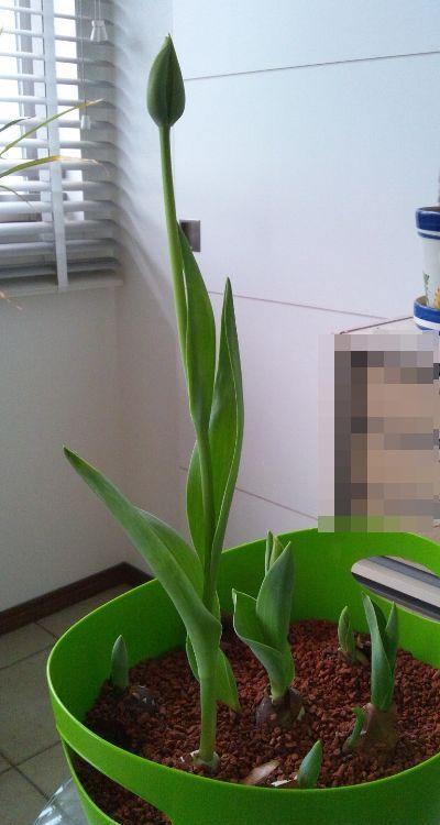 tulip120226 (1)b