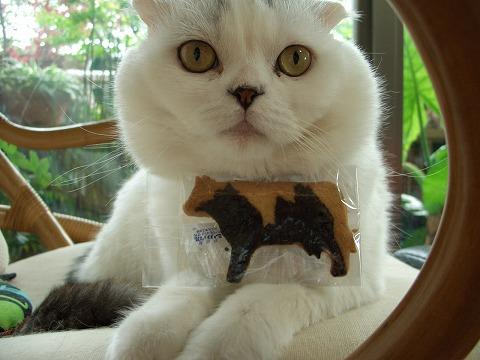 多肉金銀猫 094