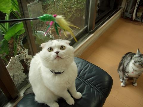 多肉金銀猫 131