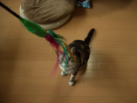 多肉金銀猫 153
