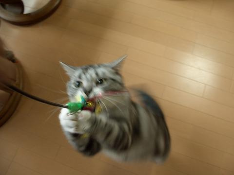 多肉金銀猫 165