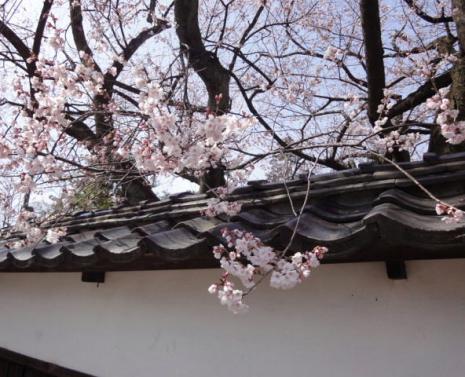 黒門のヒガン桜