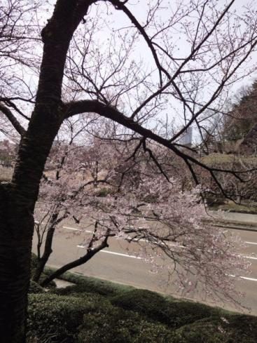 ソメイヨシノではない桜の開花