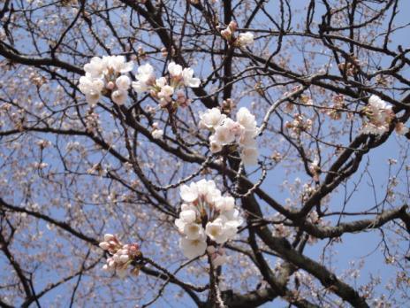 桜3分咲きくらい