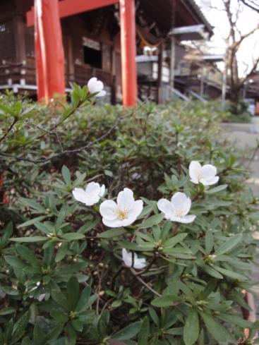 春日神社の落ち桜