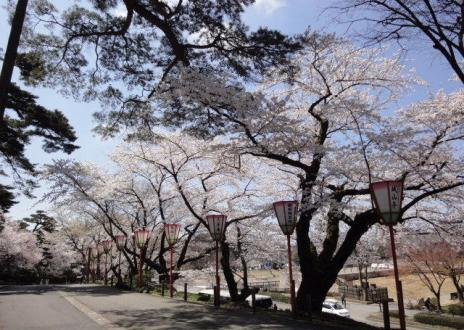 桜の道~。
