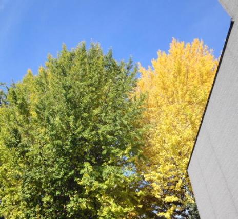 黄緑と黄色のイチョウ