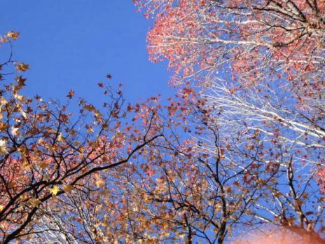アメリカ楓。