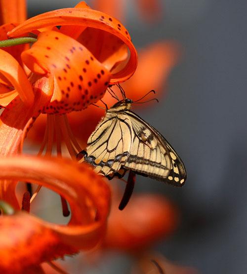 09アゲハチョウ02