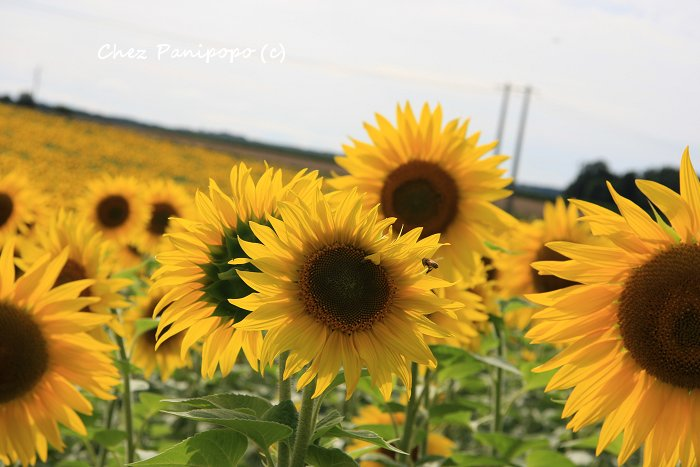 sunflowers10
