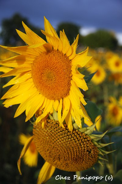 sunflowers5