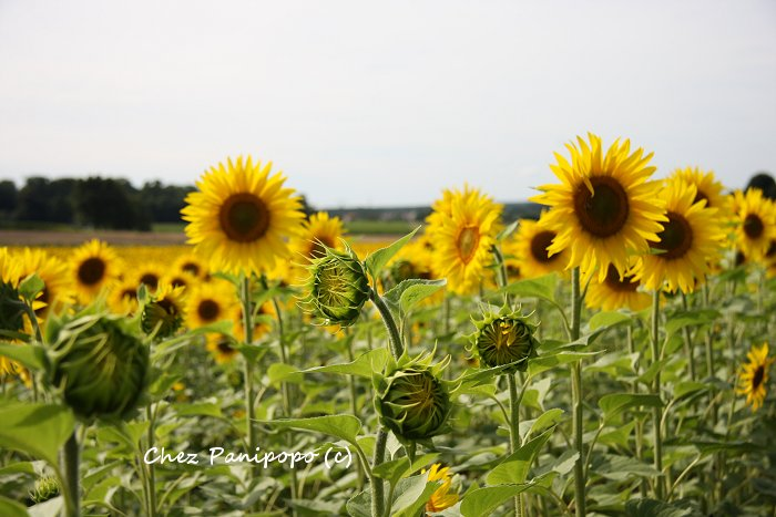 sunflowers9
