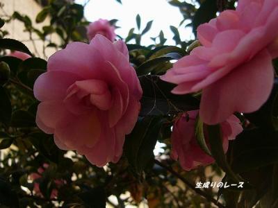 P1130866山茶花