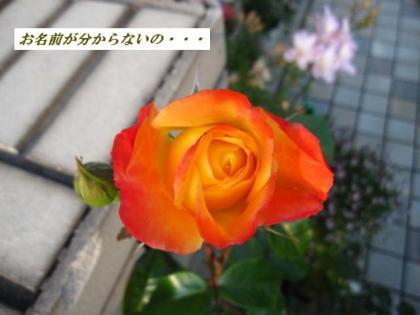 10606 薔薇 3