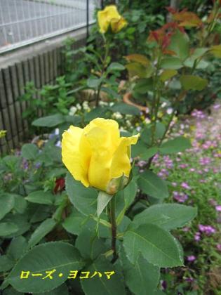 10606 薔薇 2