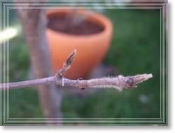 レッドロビンの芽