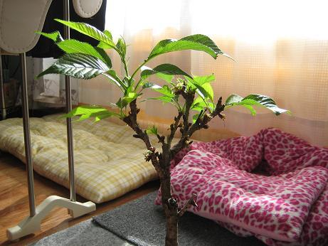 桜の木です1