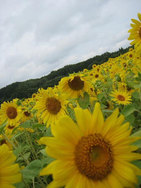 向日葵畑で2