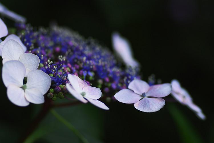 秋葉公園の紫陽花