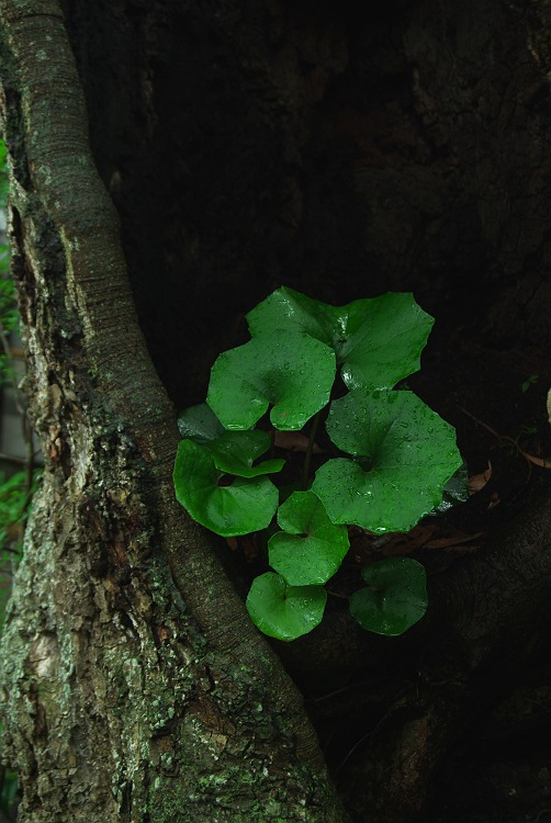 鎌倉長谷寺の紫陽花 其の弐