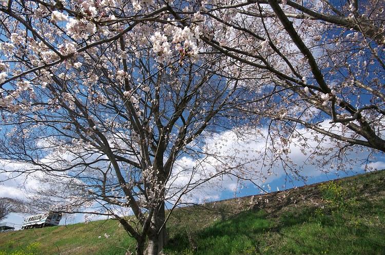 桜が咲きました 2