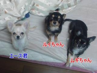 3チワワちゃん★