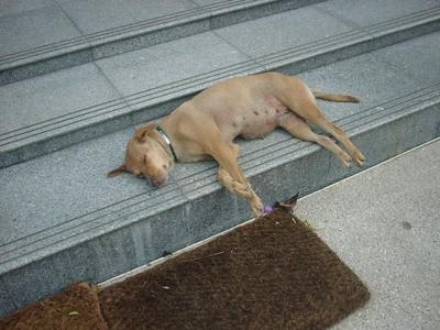 タイの犬④