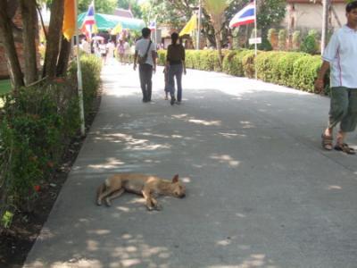 タイの犬③