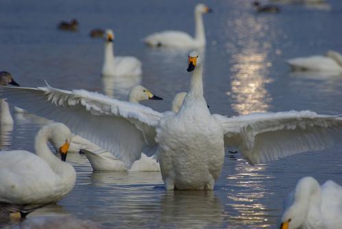 IMGP3521 白鳥