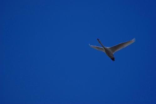 IMGP3575 白鳥