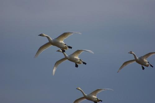 IMGP3627 白鳥