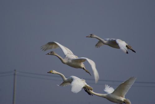 IMGP3632 白鳥