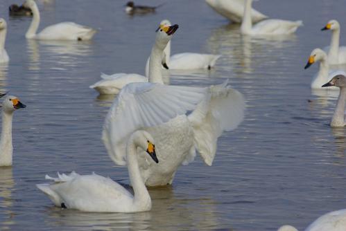 IMGP3637 白鳥