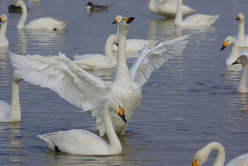 IMGP3638 白鳥