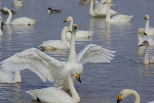 IMGP3639 白鳥