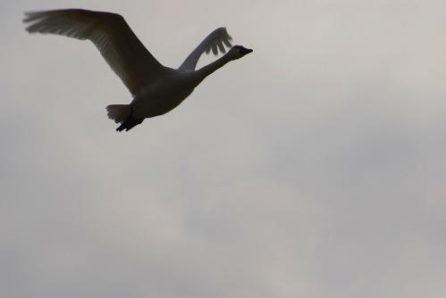 IMGP3659 白鳥