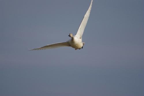 IMGP3675 白鳥