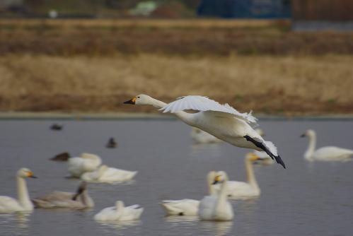 IMGP3709 白鳥