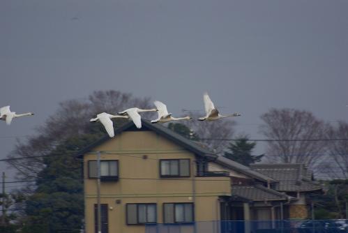 IMGP3712 白鳥