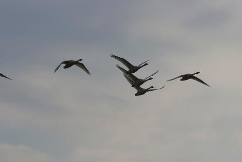IMGP3717 白鳥