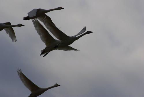 IMGP3723 白鳥