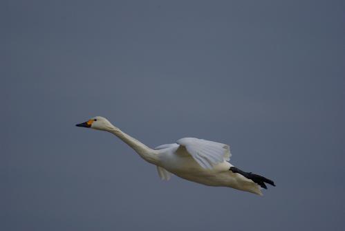 IMGP3736 白鳥