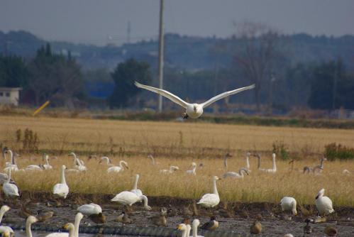 IMGP3793 白鳥