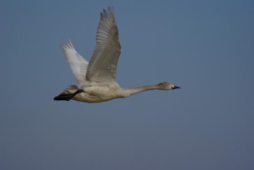 IMGP4065白鳥