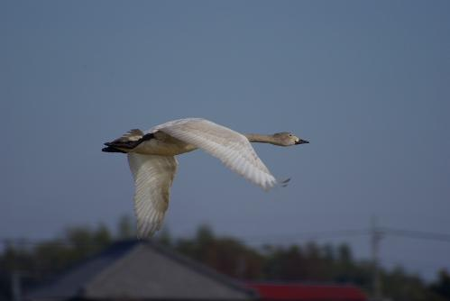IMGP4066白鳥