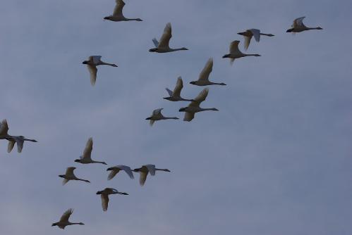 IMGP4187白鳥