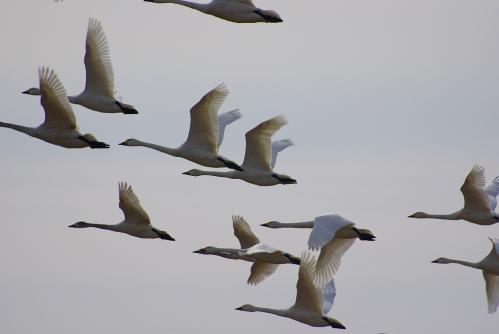 IMGP4309白鳥