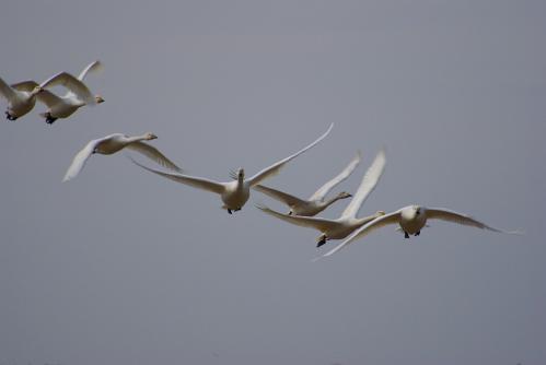 IMGP4376白鳥